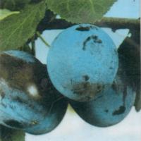 Чачанска Лепотица
