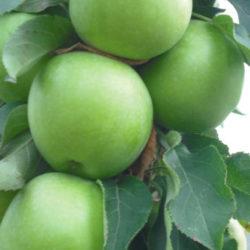 ябълка-зелена