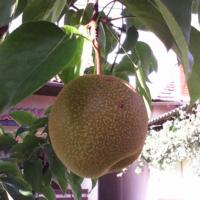 Ябълкокруша